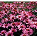 Benediktinský bylinný sirup Echinacea 290g